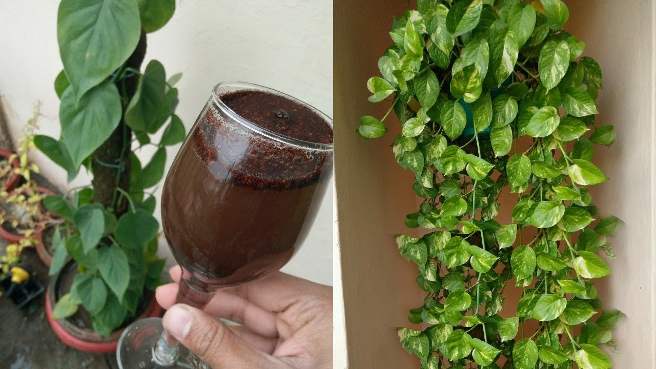 Magical Fertilizer For Money Plant