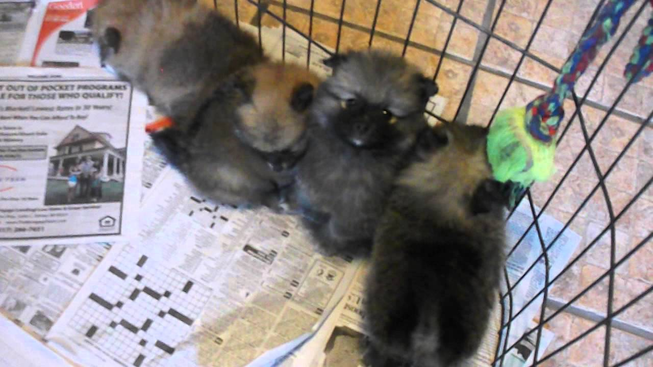 pomeranian breeders michigan pomeranian puppies for sale in michigan youtube 3883