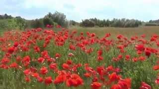 Poppy Field near Luboml. Volyn, Ukraine, Europe / Квітнуть маки. Західніше Любомля, Волинь.(Квітнуть маки. А також – ромашки, васильки (волошки)... На західних околицях Любомля буяє червень., 2015-03-07T17:41:41.000Z)