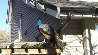 Peacocks in Surrey BC