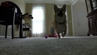Daisy Corgi Jumping Over Gopro In Slomo