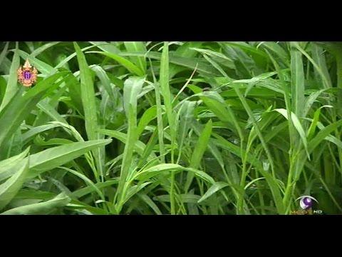 เกษตรทำเงิน : ผักบุ้งจีนโตไว รายได้วันละ 2,000 บาท