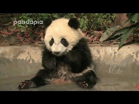 Panda cub's bath time