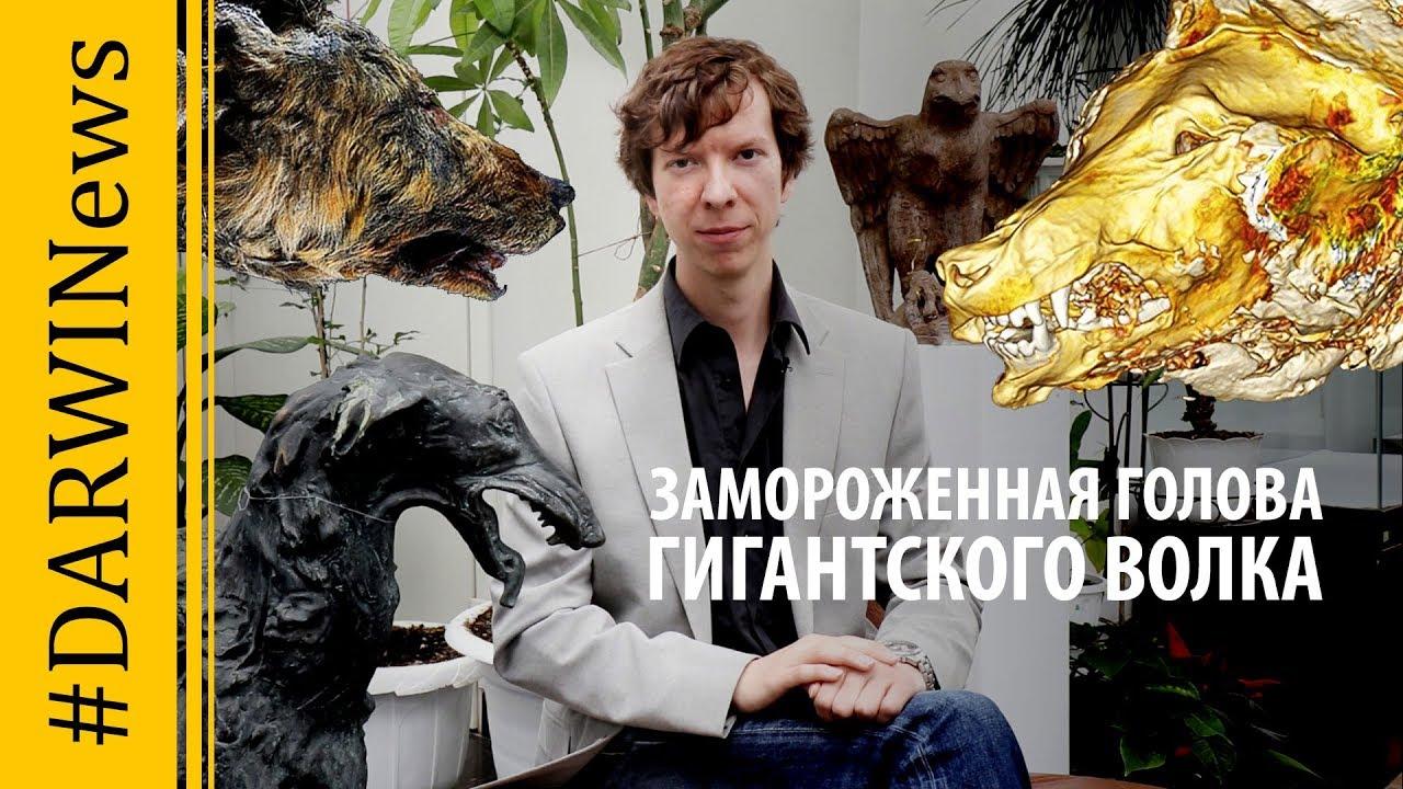 Гигантский волк обнаружен в  Якутии. Ярослав Попов #DARWINews