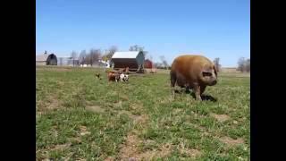 Willis Farm Hogs On Pasture