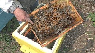 Все таки пчелы пошли на тихую смену матки. Продолжение истории.