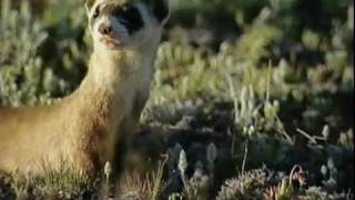Black-Footed Ferret and Conservation
