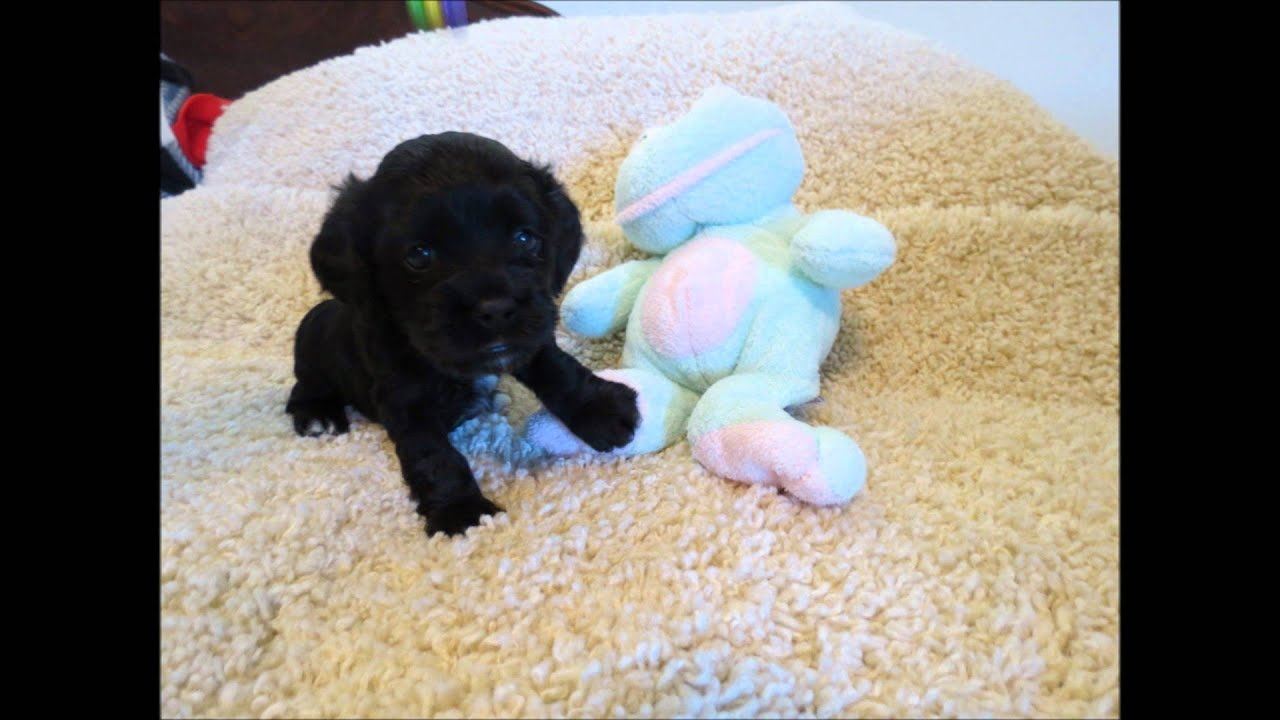 Baby Toys Sale Baby Toy And Miniature Cockapoo Puppies For Sale Youtube