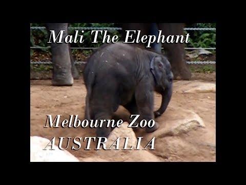 CUTE BABY ELEPHANT MALI @ MELBOURNE ZOO
