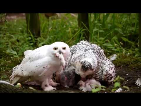 Snowy Owl family