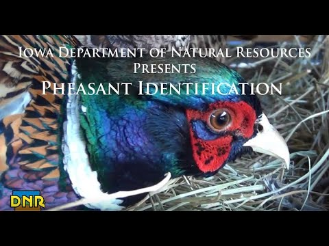 Pheasant Identification, Iowa DNR