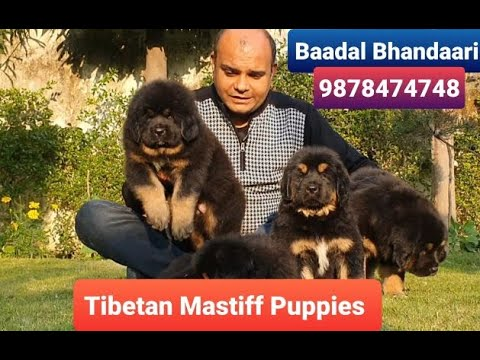#TibetanMastiff Puppies # BestGuardDogs #BaadalBhandaari Pathankot punjab 9878474748