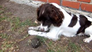 This Fun Loving Springer Spaniel Dog Really Loves Playing Ball. Until She Eats It!