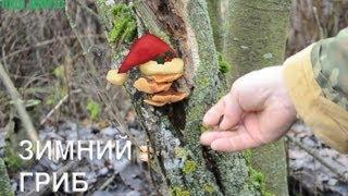 Зимний гриб - лучшее средство против импотенции