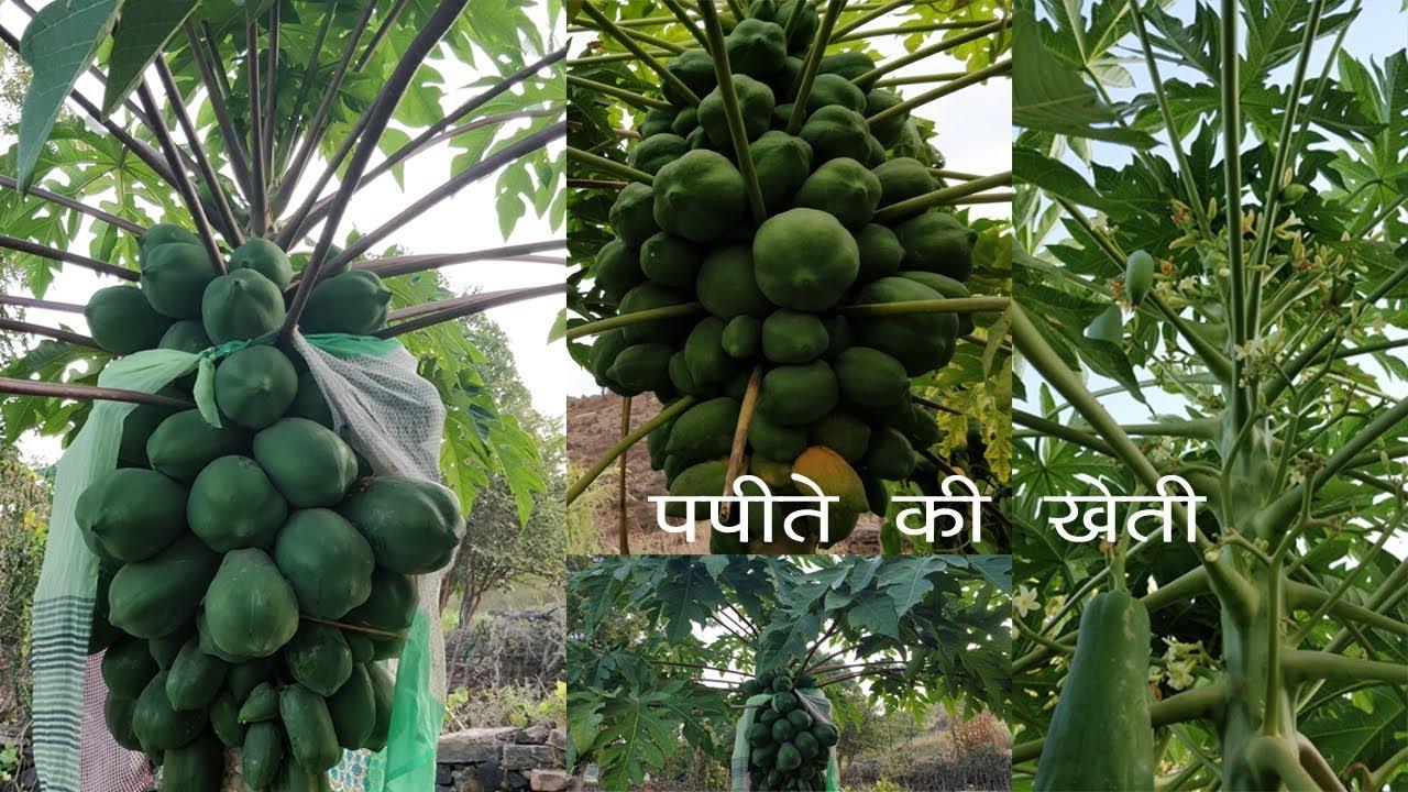 पपीते की खेती - नर पोधे की जानकारी || how to get more production in papaya  farming || Desi Kheti