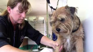 Hand stripping a Border Terrier  Part 4 (using a stripping knife)