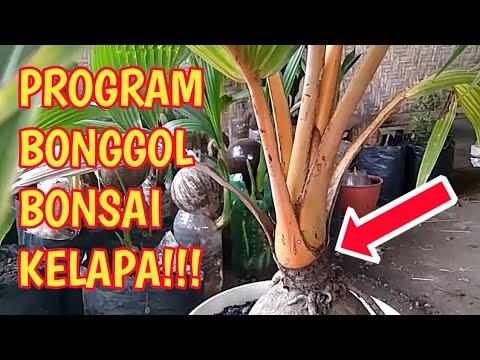 Program Bonggol Bonsai Kelapa Gading Orange Wayan Darmawan