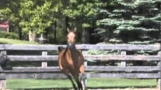 Justa China Doll, Bay Mare Arabian Horse For Sale - Wagamon Farms