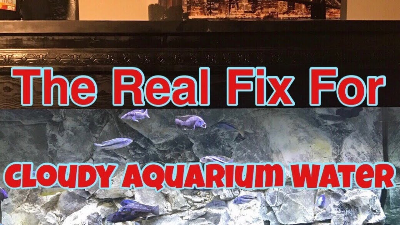 Fish tank water cloudy - Real Fix Cloudy Tank Water How To Really Fix Cloudy Aquarium Water Sparkling Clear Fish Tank Water