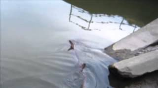 shark spotted swimming up river in essex countryside