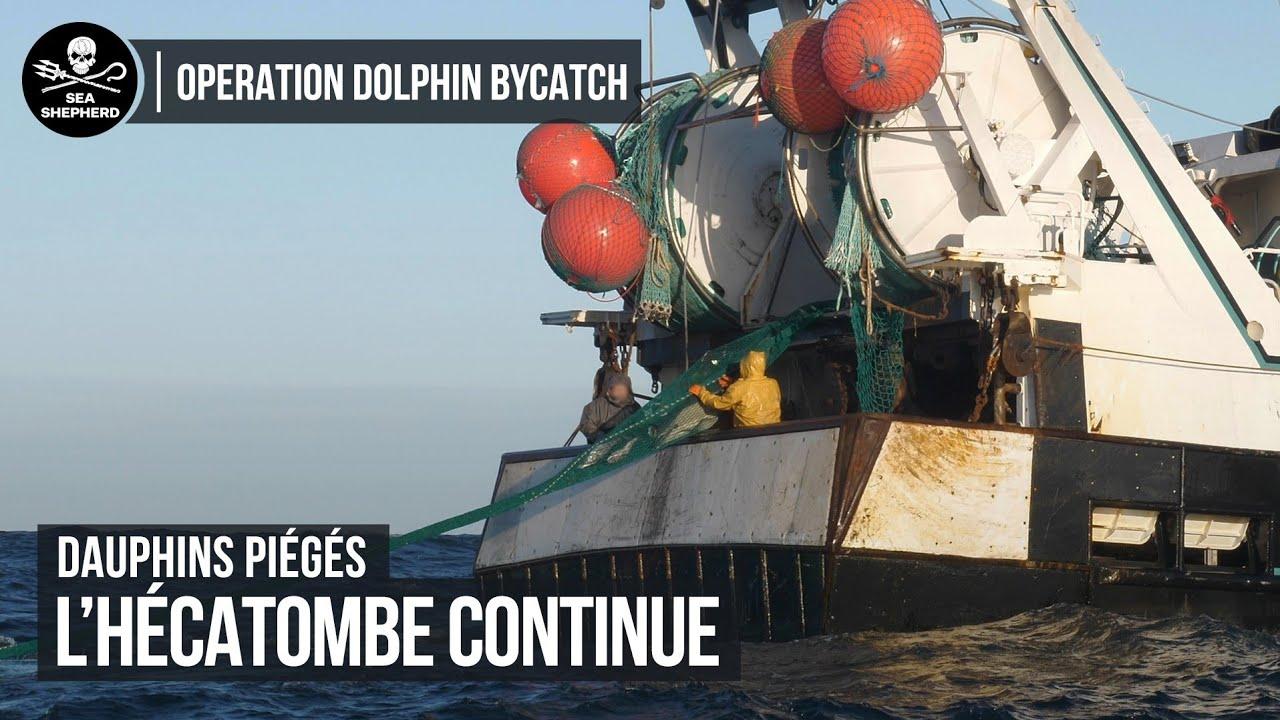 Opération Dolphin Bycatch : Dauphins capturés dans un filet.