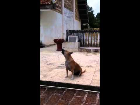 ่Choir Dog from Phra Tat Jom Ping Temple, Lampang