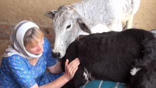 In Vrindavan - Part 2 - Care for Cows I