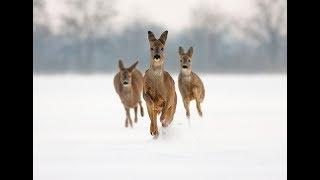 Сезон охоты на косулю 2017, с подхода. несовершеннолетним просьба не смотреть.