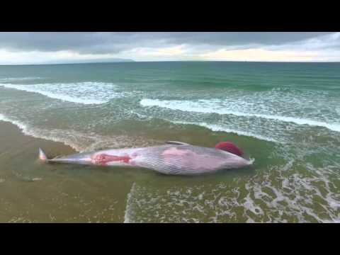 Dead Whale Washes Up On Portstewart Strand