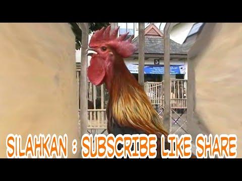 AYAM PELUNG DUET MAUT - pelung chicken contest