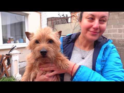 😍Знакомьтесь - Норвич-терьеры Кузя и Мери. Meet - Norwich Terrier.