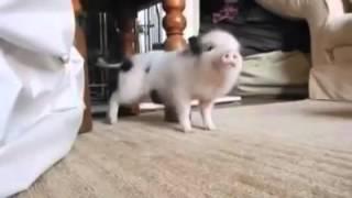"Little pig dancing ""Work"""