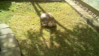 Sulcata Tortoise Habitat - Home Backyard