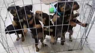 Miniature Pinscher Puppies At 6 Weeks Old.