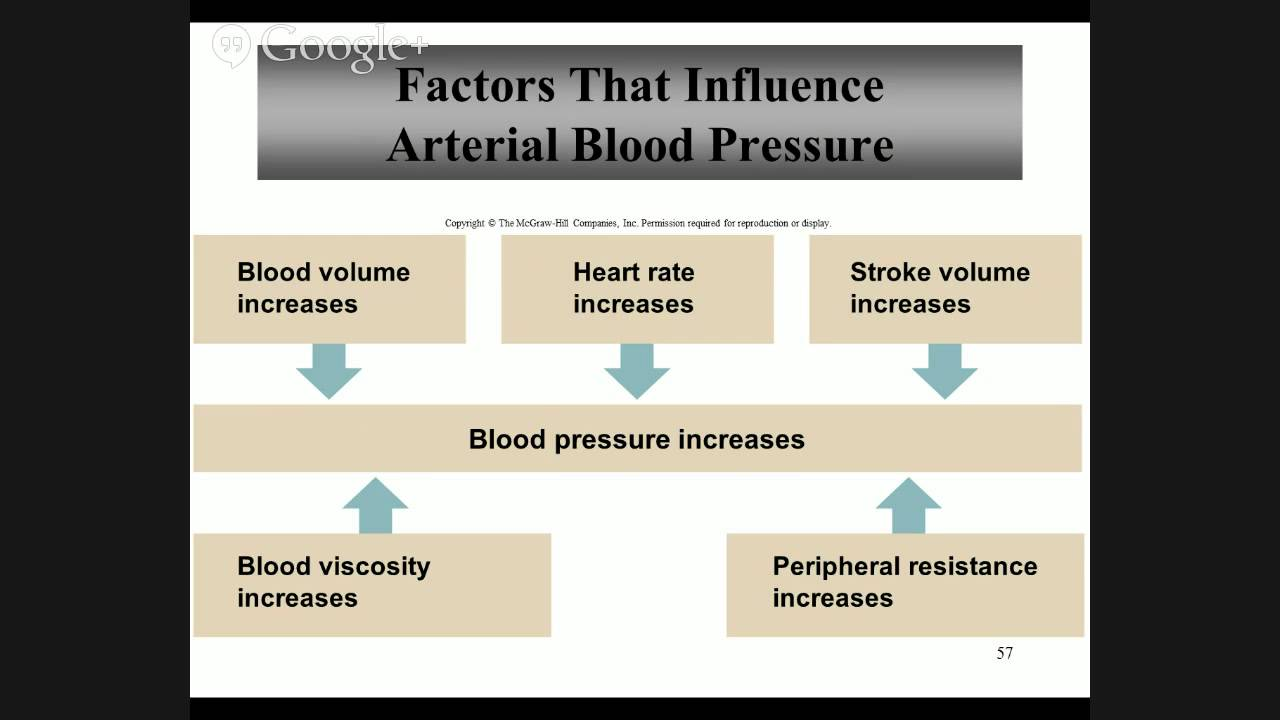 A&P II Chapter 15 - The Cardiovascular System - YouTube