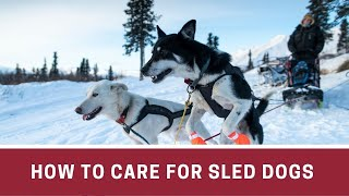 How to Care for Sled Dogs || How to take care of sled dogs || Famous sled dogs
