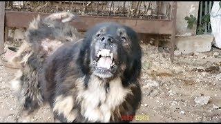 كلب-قوقازي-شرس-ومجنون-قرر-صاحبه-الاستغناء-عنه-السبب-مع-جمال-العمواسي