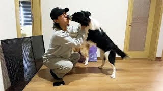 14일만에 주인을 만난 보더콜리 강아지에요.