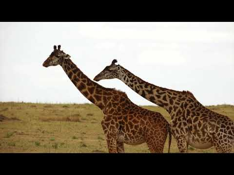 Masai Mara National Reserve   Kenya - 4K