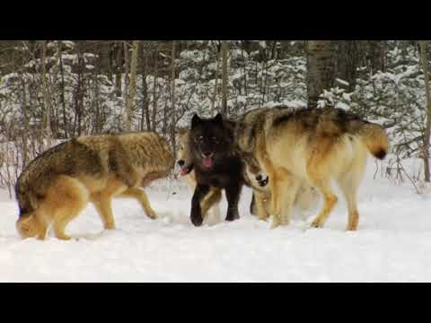 Wolves, Wolf Interaction, Playing, Greeting