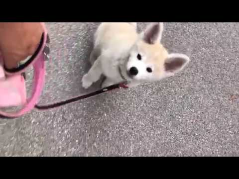 12 weeks old Akita Inu doing tricks
