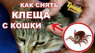 Как снять клеща с кошки