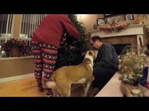 Needy pup helps owner prepare Christmas tree