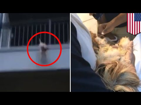 Dog rescued: Doggie rescued after falling from second floor apartment balcony in Florida - TomoNews