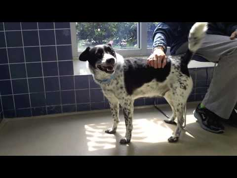 Ogiima A 7 Year Old Australian Cattle Dog Border Collie