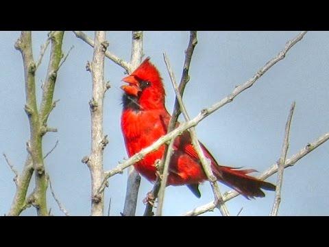 Northern Cardinal Song