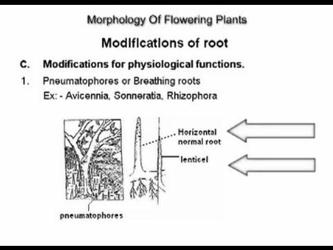 Morphology Of Flowering Plants class 11 root - Biology  @ Ednexa