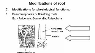 Morphology Of Flowering Plants class 11 root - Biology  @ Ednexa