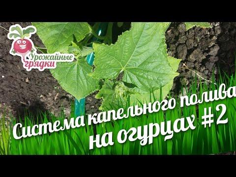 Посадка и выращивание огурцов в теплице. Система капельного полива #2