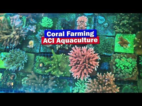 Coral Farming With ACI Aquaculture